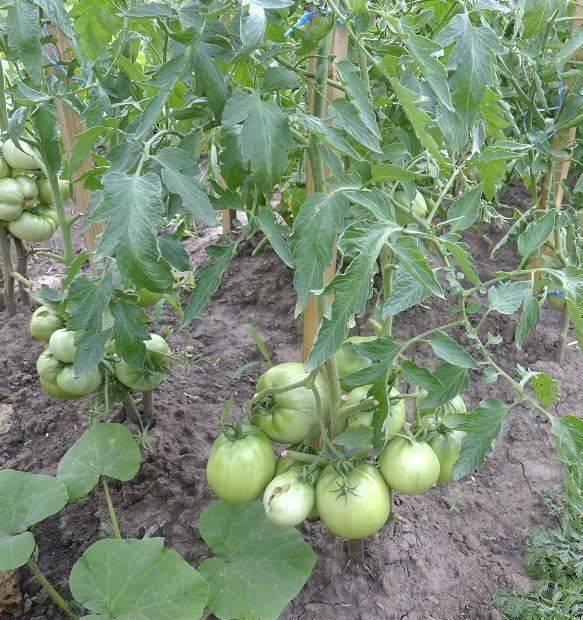 Засолочные сорта томатов: описание, отзывы, фото