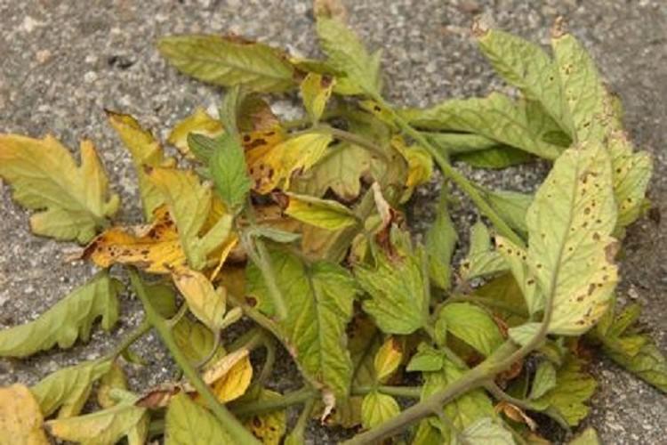 Что делать, если у свеклы сохнут листья?