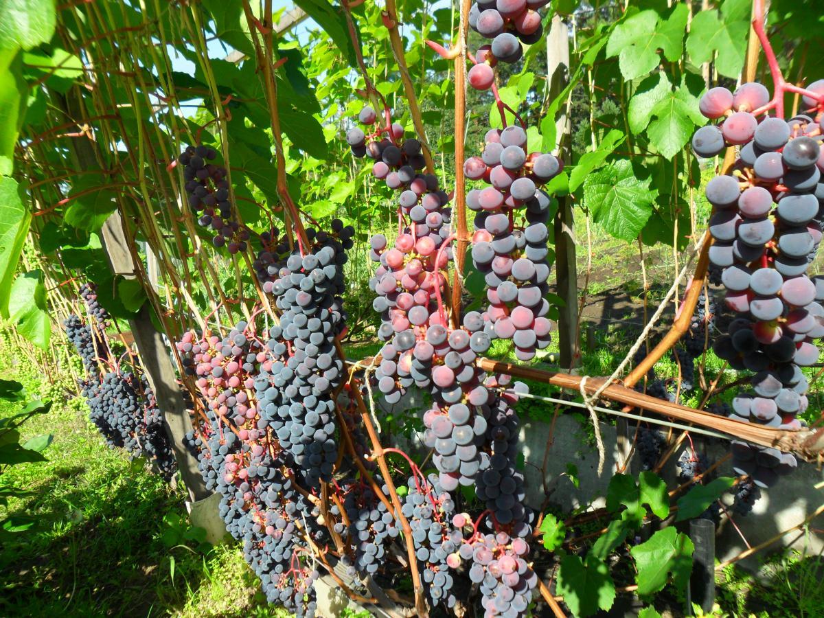 Виноград софия: описание сорта, особенности выращивания и характеристики, фото selo.guru — интернет портал о сельском хозяйстве