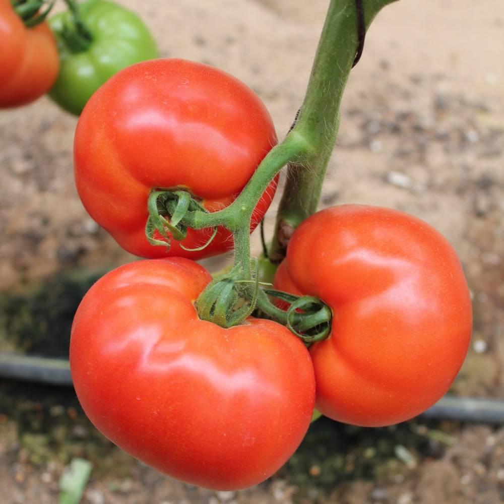 """Томат """"стреза"""": описание и характеристики гибридного сорта помидор русский фермер"""
