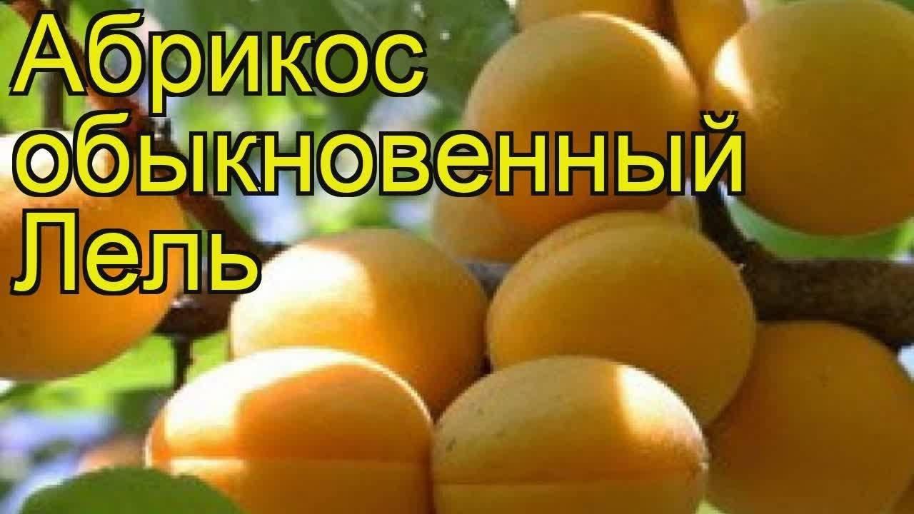 Сорт абрикоса лель, описание, характеристика и отзывы, нюансы посадки и ухода за растением