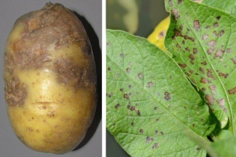 19 болезней картофеля с описанием, 32 фото и лечением + устойчивые сорта