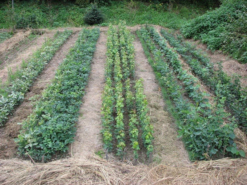 Мульча из скошенной травы: польза и вред | польза и вред