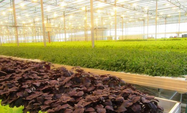 Как вырастить базилик в теплице: выращивание зимой