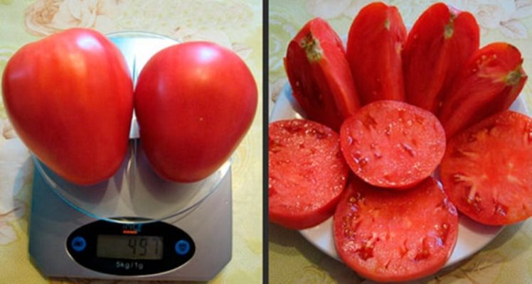 Высокорослый сорт томатов батяня
