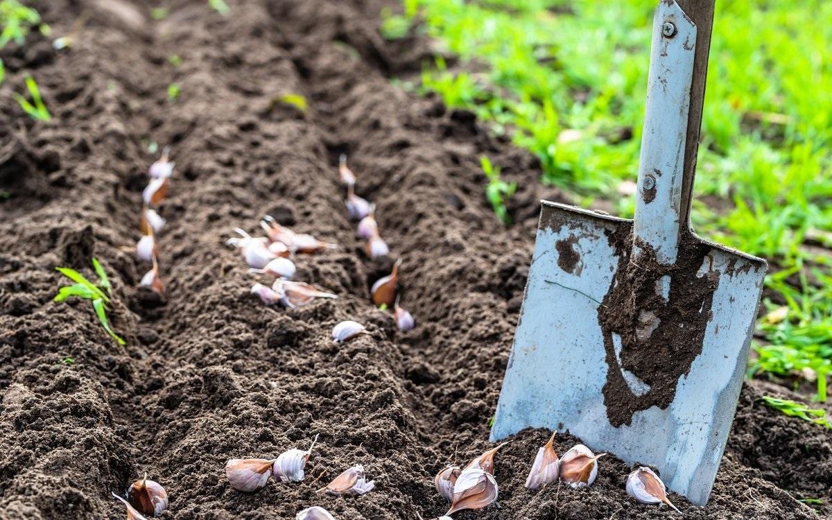 Подготовка почвы под чеснок осенью, какие удобрения использовать