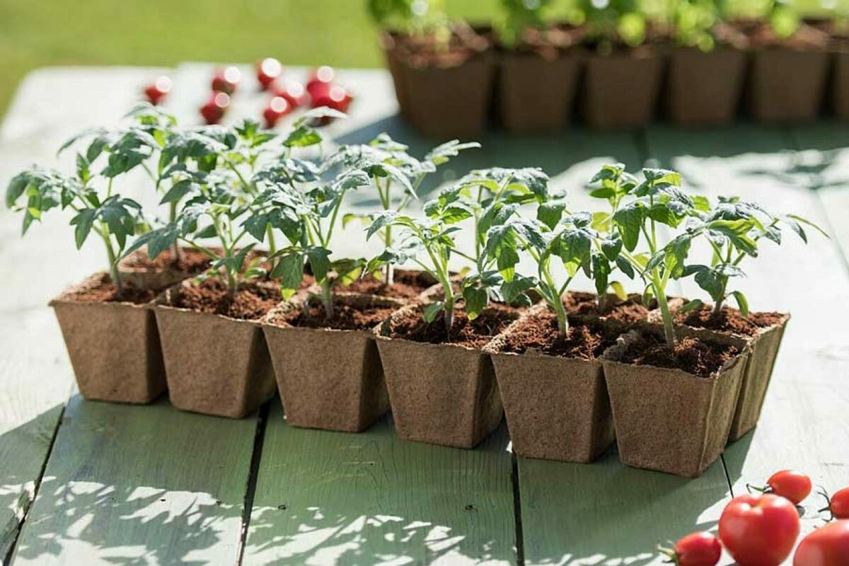 Самые урожайные сорта томатов для открытого грунта в сибири