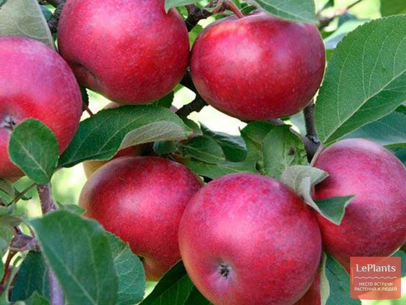 Яблоня коваленковское: описание сорта, отзывы садоводов + фото