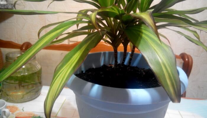 Разноцветная красавица кордилина киви: уход в домашних условиях