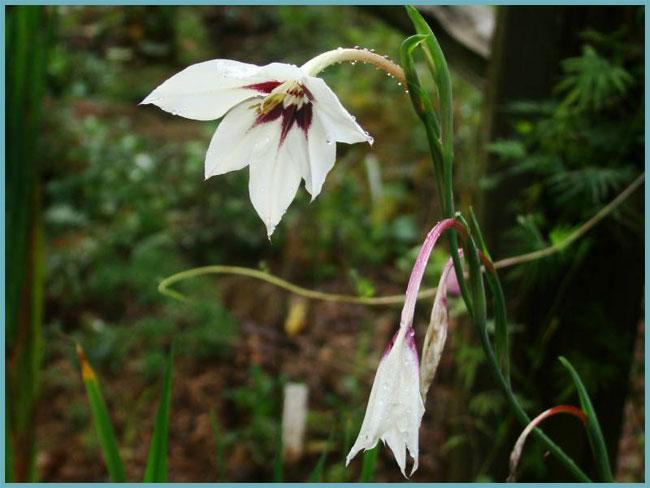 ᐉ цветок ацидантер: посадка и уход в открытом грунте, фото, выращивание, зимовка - roza-zanoza.ru