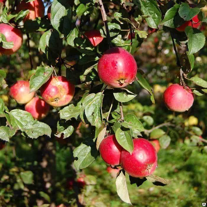 ✅ о яблоне коробовка: описание сорта, характеристики, агротехника, выращивание - tehnomir32.ru