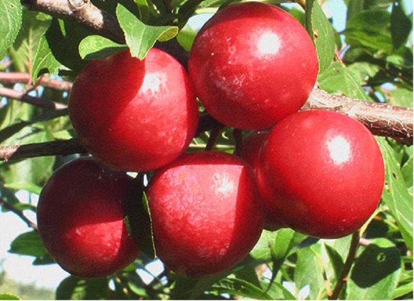 ✅ слива красный шар: описание и характеристика сорта, особенности и правила выращивания на приусадебном участке, фото - tehnoyug.com
