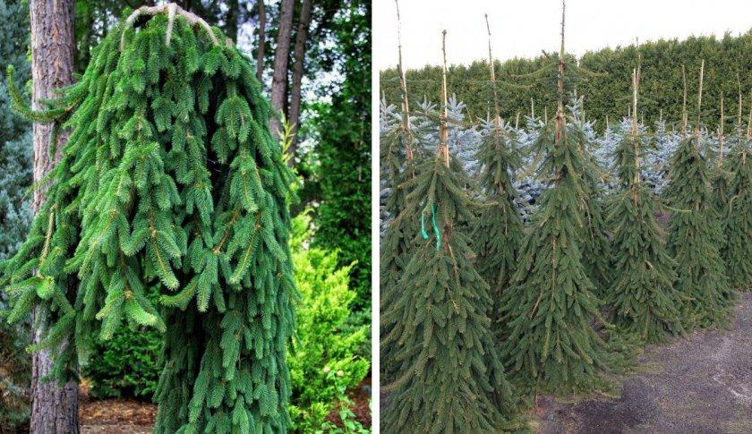 Декоративные елки: описание видов и варианты использования в ландшафтном дизайне