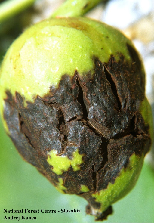 Основные вредители грецкого ореха  |  аппяпм