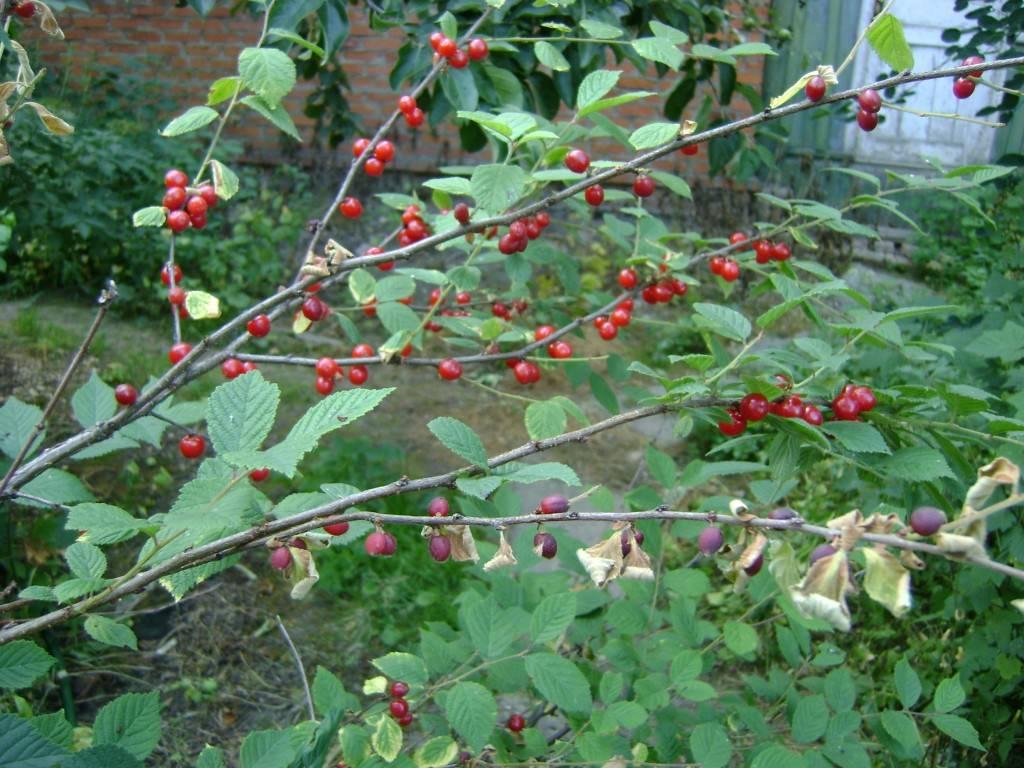 Борьба с вредителями вишни народными средствами и химией