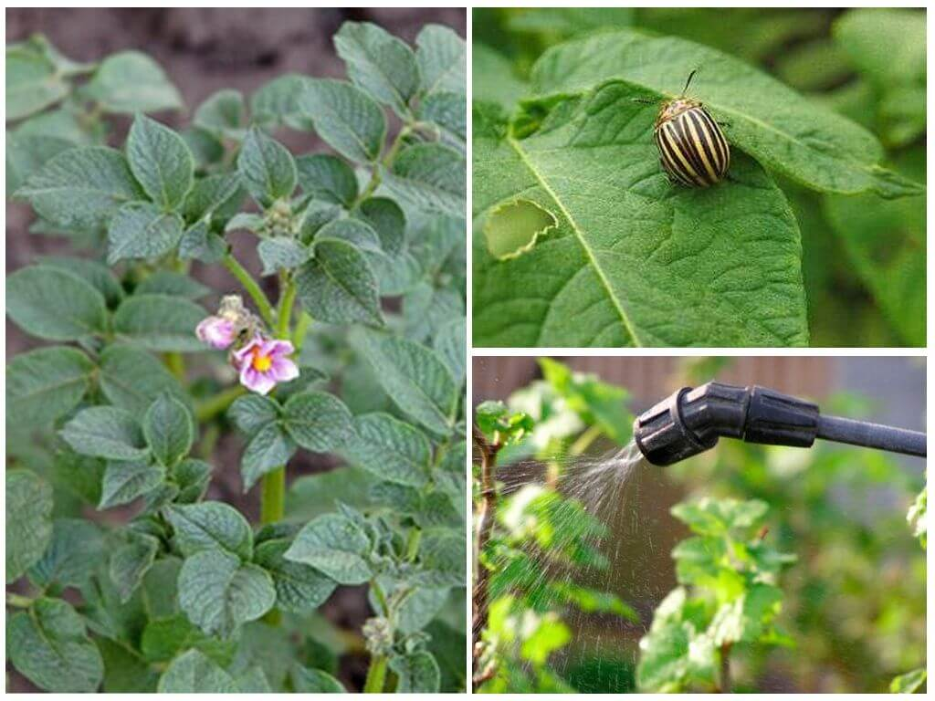 Колорадский жук - описание и методы борьбы с ним