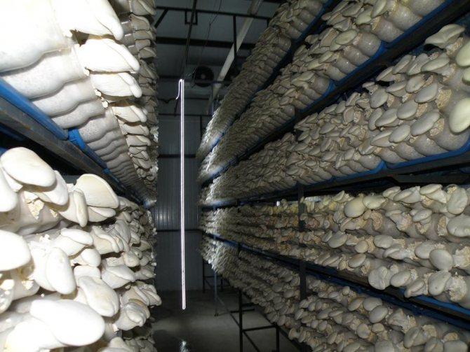 Выращивание вешенок из мицелия для новичков: видео, как выращивать грибы на пнях, в теплицах, мешках