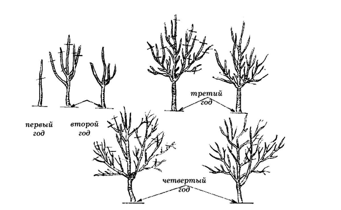 Обрезка плодовых деревьев - технология и необходимый инвентарь