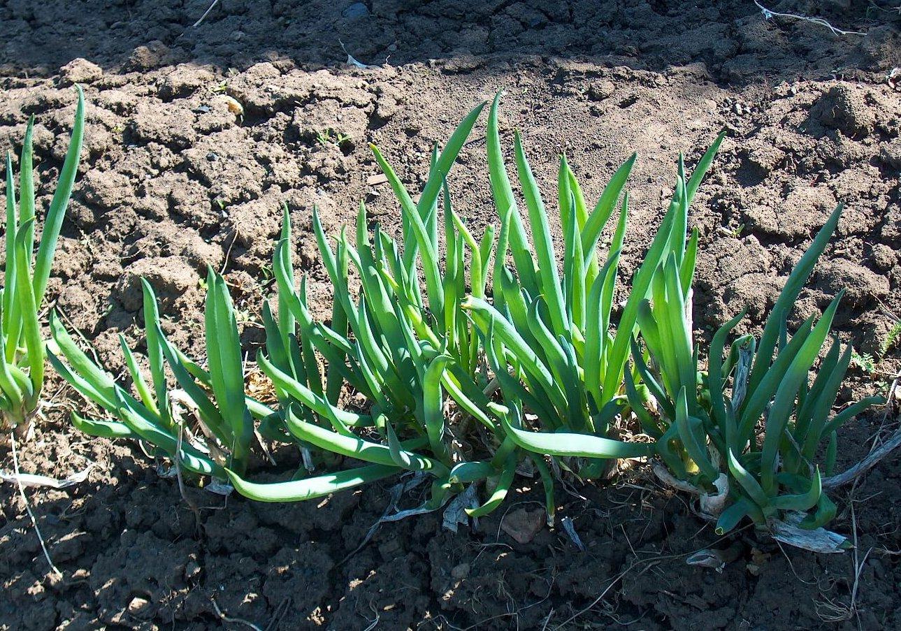 Лук-шалот: выращивание из семян, посадка и уход в открытом грунте, фото