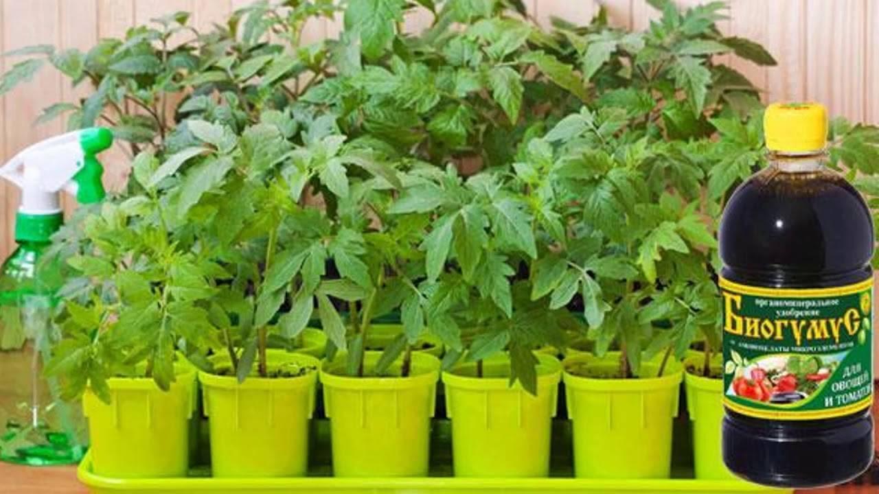 Чем полить рассаду перца чтобы лучше росла
