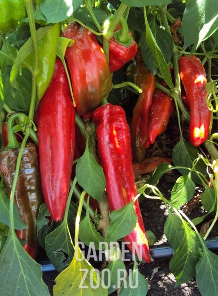 Перец какаду f1: отзывы дачников, описание особенностей сорта и выращивания