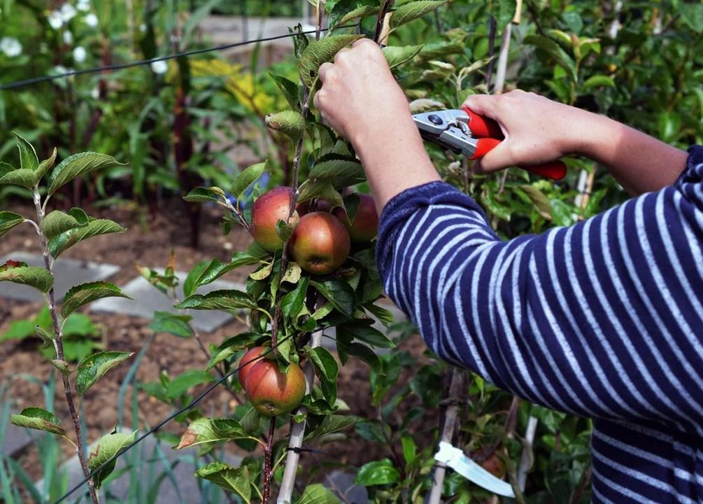 Как посадить сливу правильно весной саженцами в открытый грунт: пошаговая инструкция