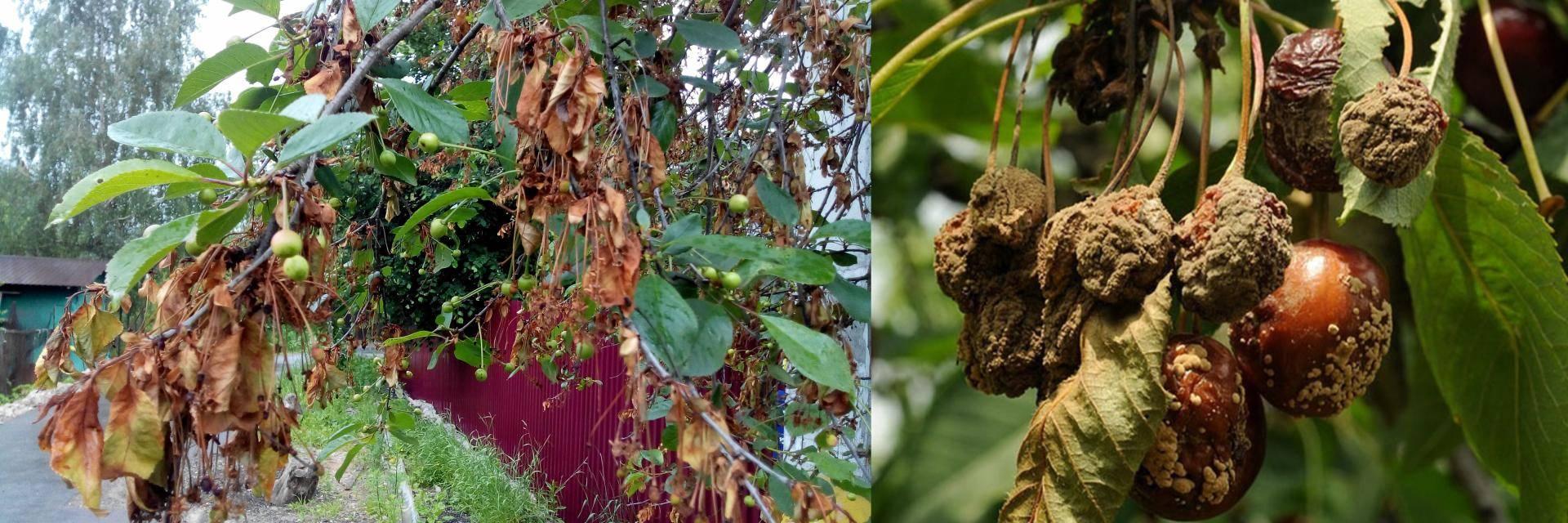 Монилиоз вишни: причины и симптомы, как лечить, препараты для борьбы с болезнью
