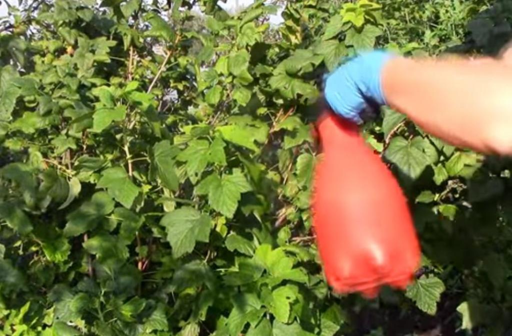 Уход за малиной весной: подкормка, обработка, первый полив