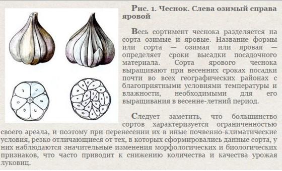 Огородникам на заметку: чем отличается яровой чеснок от озимого?