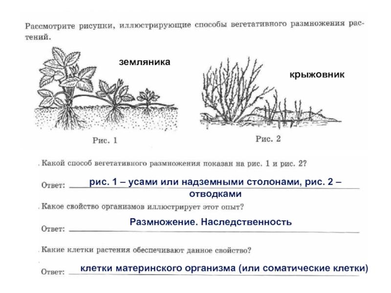 Посадка крыжовника весной: сроки, особенности, технология высадки ягодного кустарника