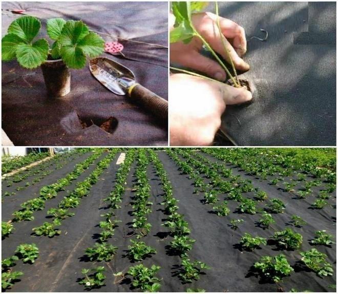 Укрывной материал для клубники - для чего используется и особенности технологии выращивания клубники (95 фото и видео)