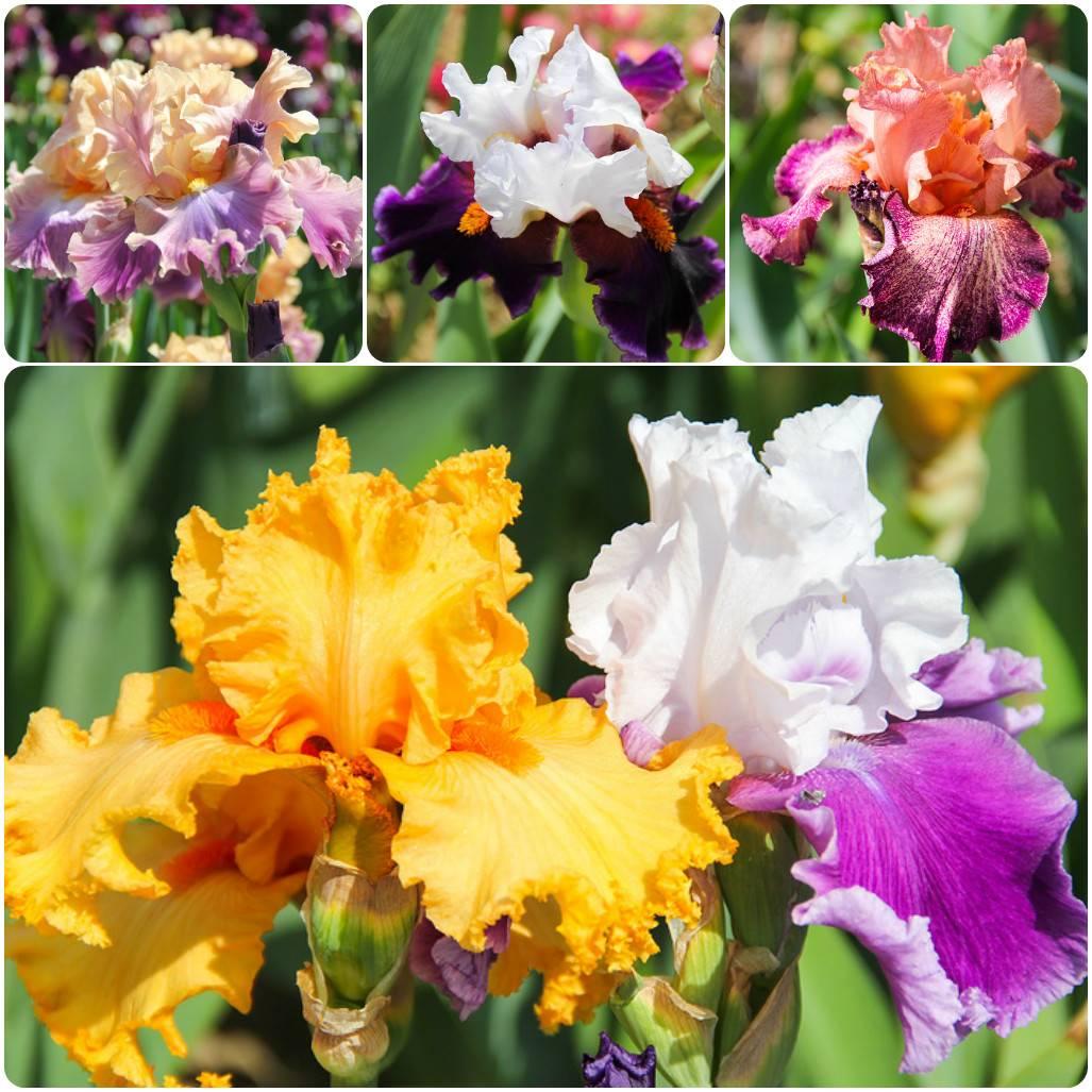 Ирисы - 102 фото самых популярных цветов для сада и огорода