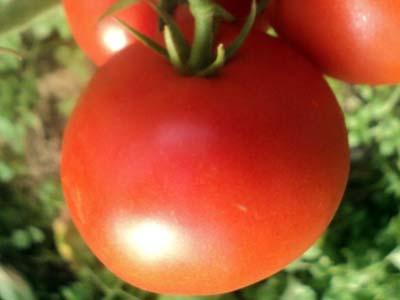 Томат евпатор f1: отзывы, фото, описание сорта, посадка и уход, выращивание т урожайность помидоров