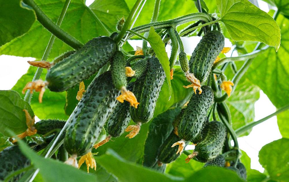 Как растут огурцы: советы по выращиванию и уходу любого сорта