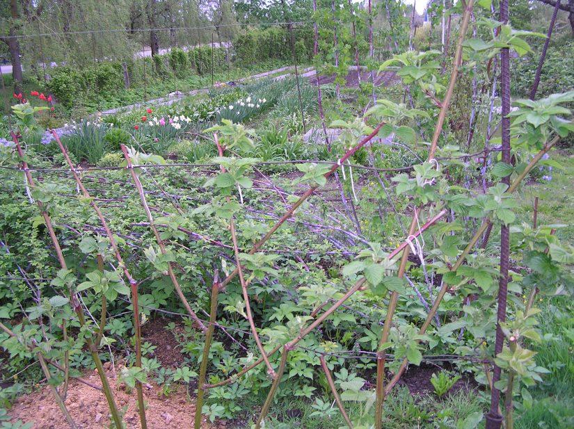 Посадка ежевики весной саженцами
