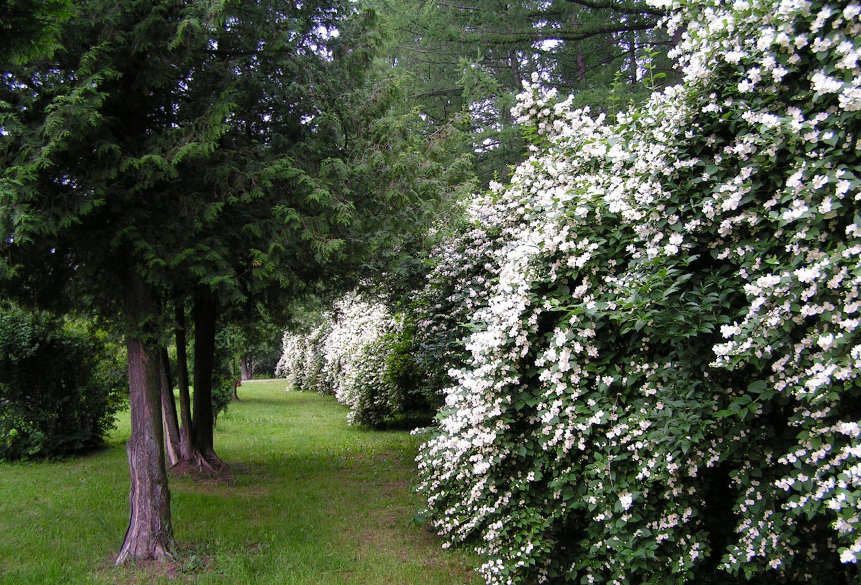 Посадка и уход за чубушником (17 фото): выращивание в подмосковье и сибири, на урале и в других местах в открытом грунте