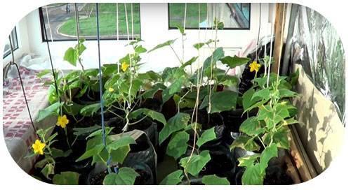 Огурцы на подоконнике выращивание и уход: от выбора сорта до сбора урожая