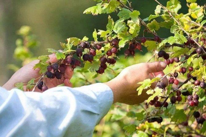"Когда созревает вишня? - журнал ""совхозик"""