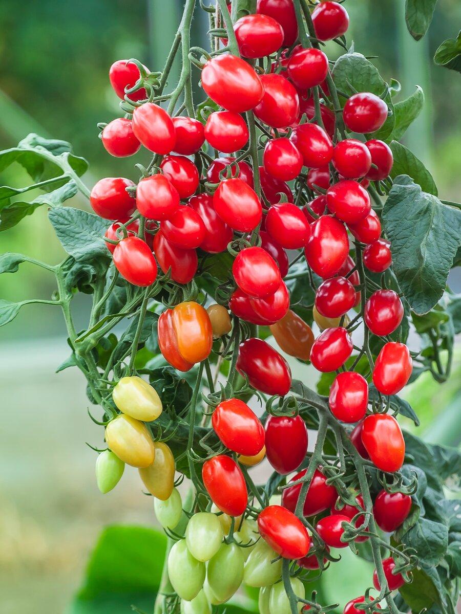 Томат рябиновые бусы: отзывы об урожайности, характеристика и описание сорта, фото как выращивать помидоры