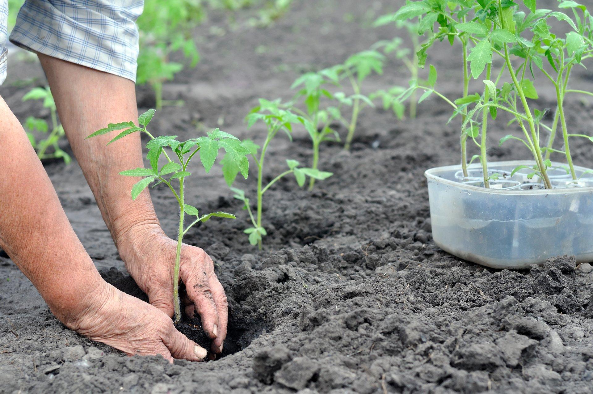 Как правильно выращивать помидоры в теплице