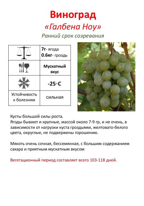 Виноград ливия: сладкий и урожайный сорт для юга россии