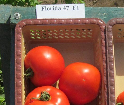 Томат флорида f1: описание и характеристика сорта, уход с фото