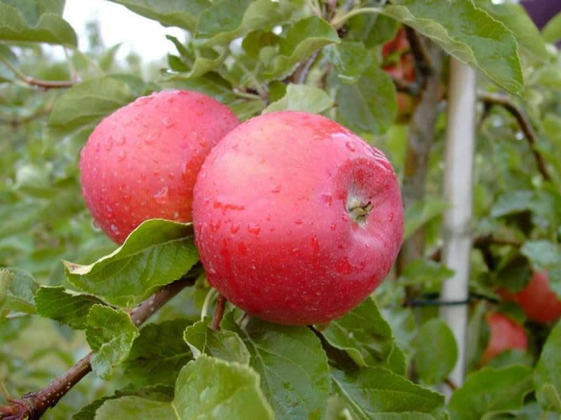 Сорт яблок вишневое описание, фото, отзывы