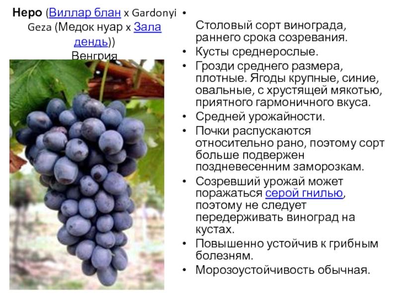 Подарок любителям северного виноградарства — сорт гарольд