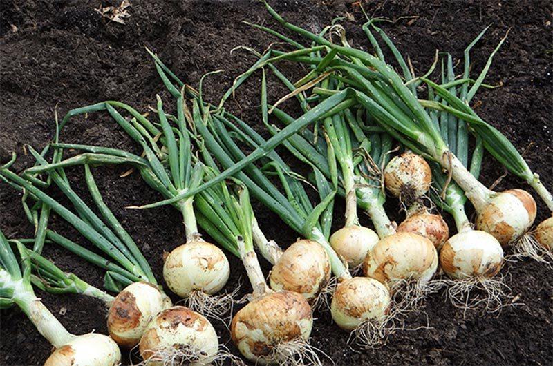 Лук: выращивание на огороде, хранение, сорта