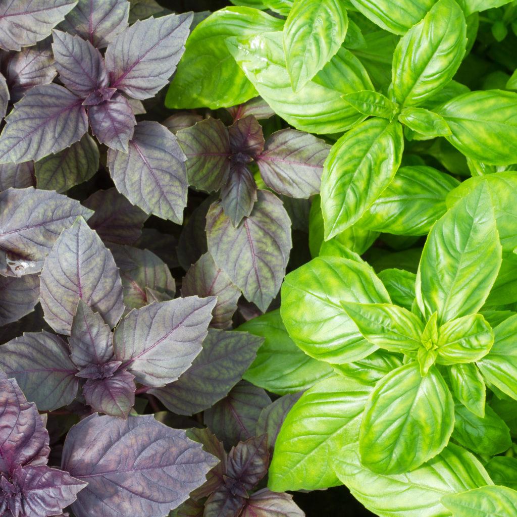 Базилик рози: характеристика и описание фиолетового сорта, отзывы тех, кто его выращивал, руководство по уходу