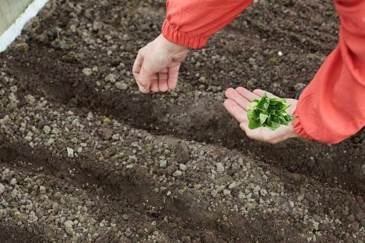 Выращивание зелени: особенности   cельхозпортал
