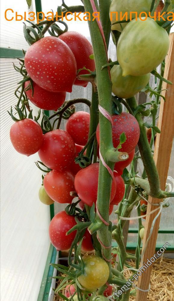 Томат сызранская пипочка: характеристика и описание сорта, фото, отзывы, урожайность