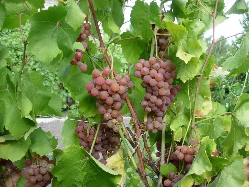 Виноград платовский: отзывы, фото, описание сорта, посадка и уход, выращивание, урожайность, вкусовые характеристики