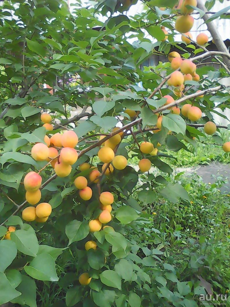 Зимостойкие абрикосы плюс шарафуга – лучшие сорта и советы по уходу от «зеленой грядки»